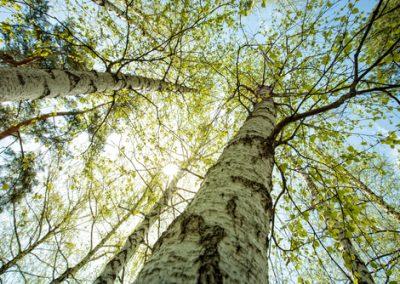 Petits arbres à écorce colorée