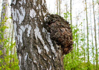 Alertes aux nouvelles maladies des arbres !