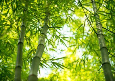 5 secrets pour mater les bambous