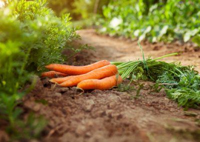 La malédiction de la carotte fourchue