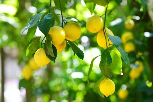 Comment avoir un beau citronnier le jardin de plaisance - Comment avoir un beau jardin ...