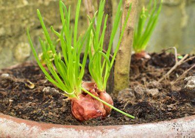 L'échalote, une saveur raffinée indispensable au jardin.
