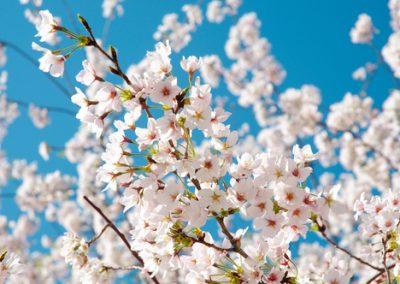 Les Cerisiers à Fleurs