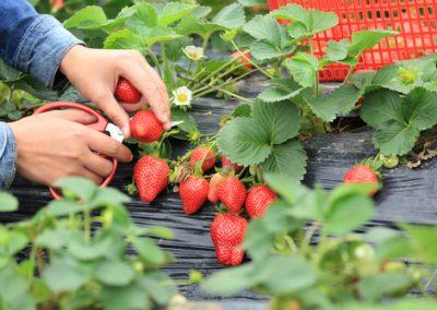 Des petits fruits pour tous les jardins