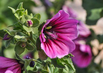 La mauve en arbre : l'hibiscus ou althéa