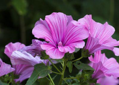 Fleurs sans souci pour jardin de vacances : La lavatére