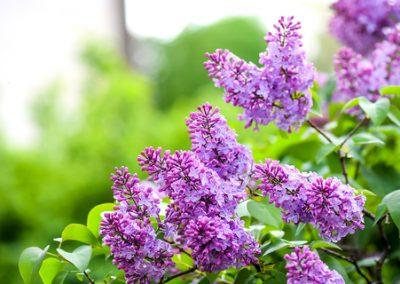 Taillez les lilas après la floraison