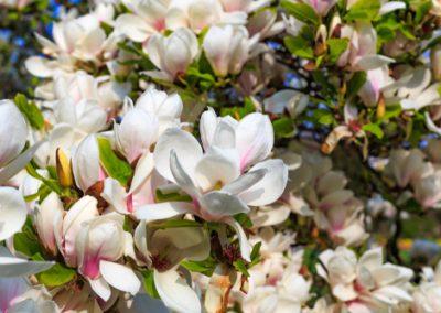 Séduisants les Magnolias