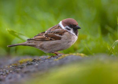 Les oiseaux communs