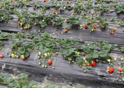 Paillage des fraises