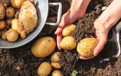 Planter les pommes de terre