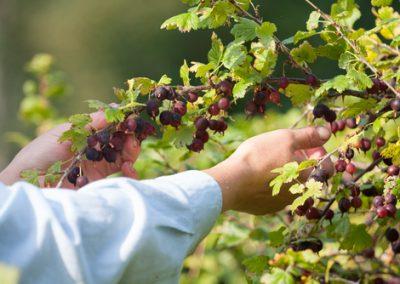 De la fraîcheur pour les petits fruits