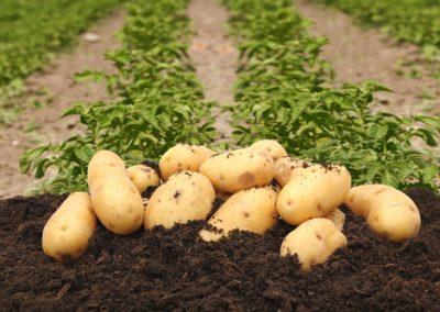 Quelques gestes pour bien réussir les pommes de terre
