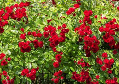 Avoir de beaux rosiers