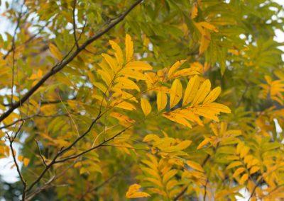 Le savonnier, arbre remarquable