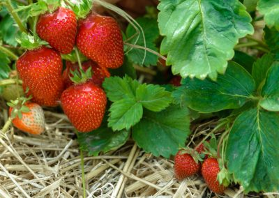 Comment renouveler sa fraiseraie ?