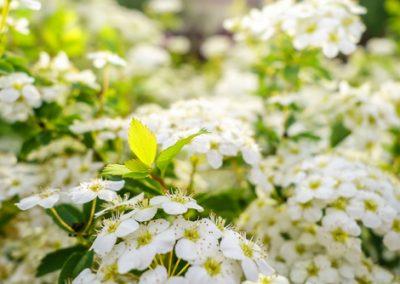 Arbustes à fleurs printanières