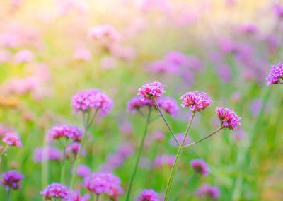Fleurs résistantes à la sécheresse