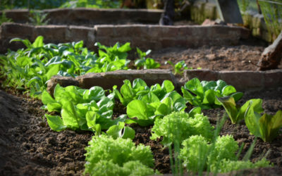 C'est l'heure de planter de la salade