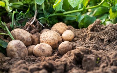 Les secrets pour de bonne pomme de terre